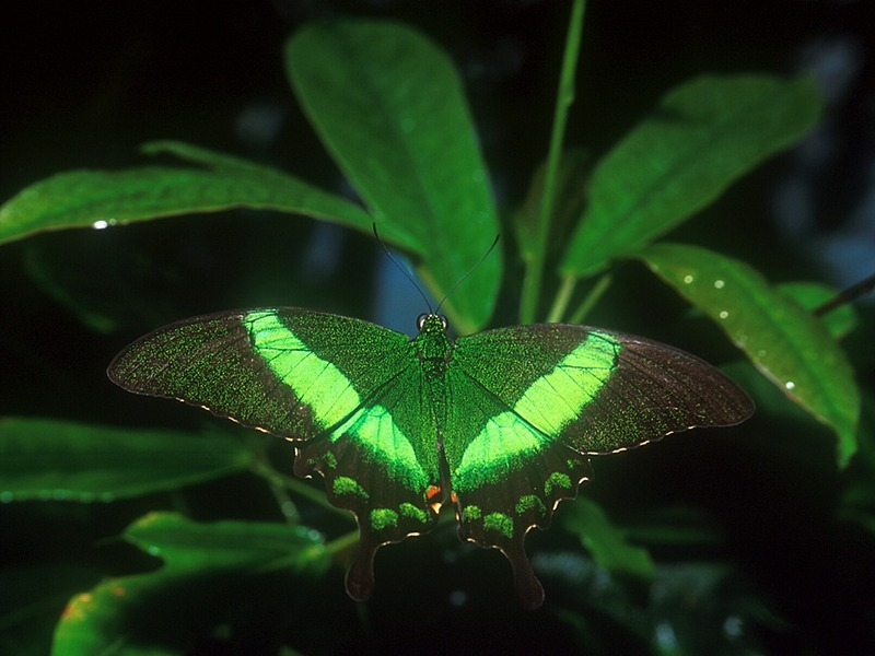Screen Themes - Butterflies - Banded Peacock Butterfly; DISPLAY FULL IMAGE.
