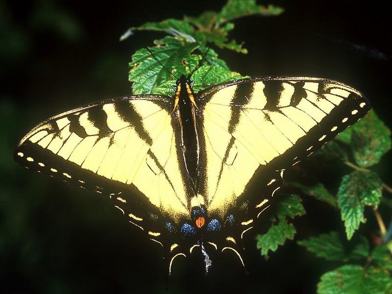ST-WPBU001@Eastern Tiger Swallowtail.jpg