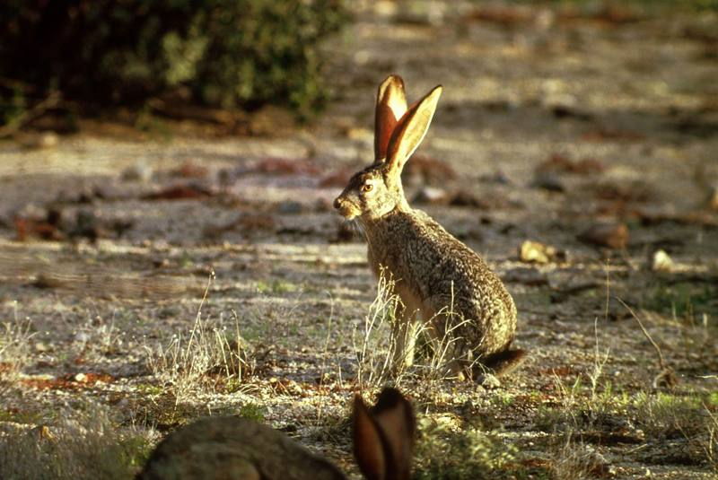 Black-tailed Jackrabbit (Lepus californicus) <!--검은꼬리멧토끼(캘리포니아멧토끼)-->; DISPLAY FULL IMAGE.