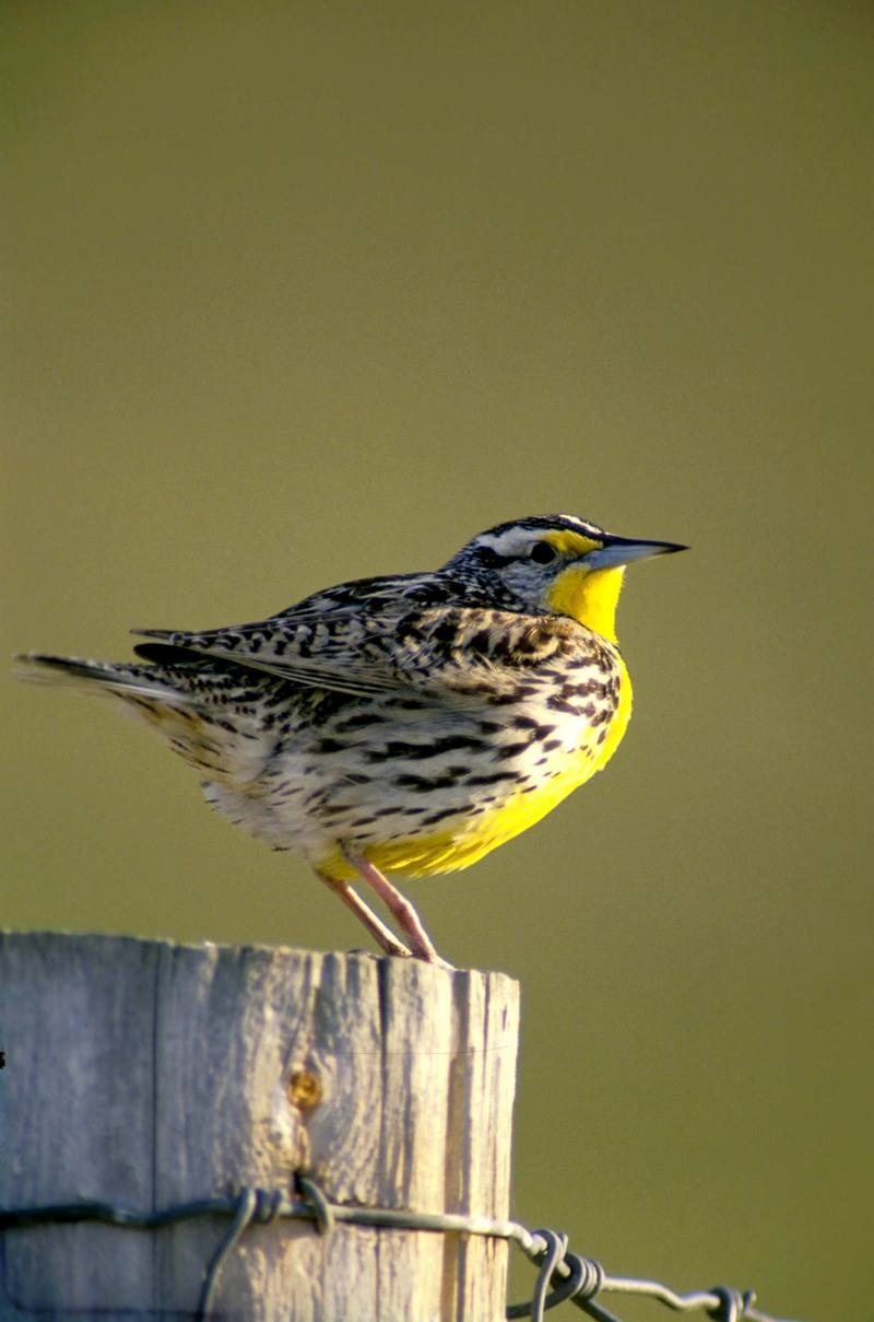 Western Meadowlark (Sturnella neglecta) <!--서부들종다리(북미)-->; DISPLAY FULL IMAGE.