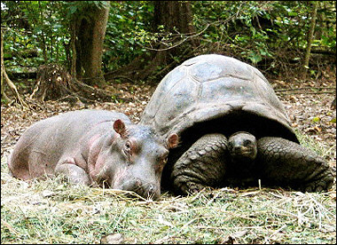 hippo/ turtle; Image ONLY