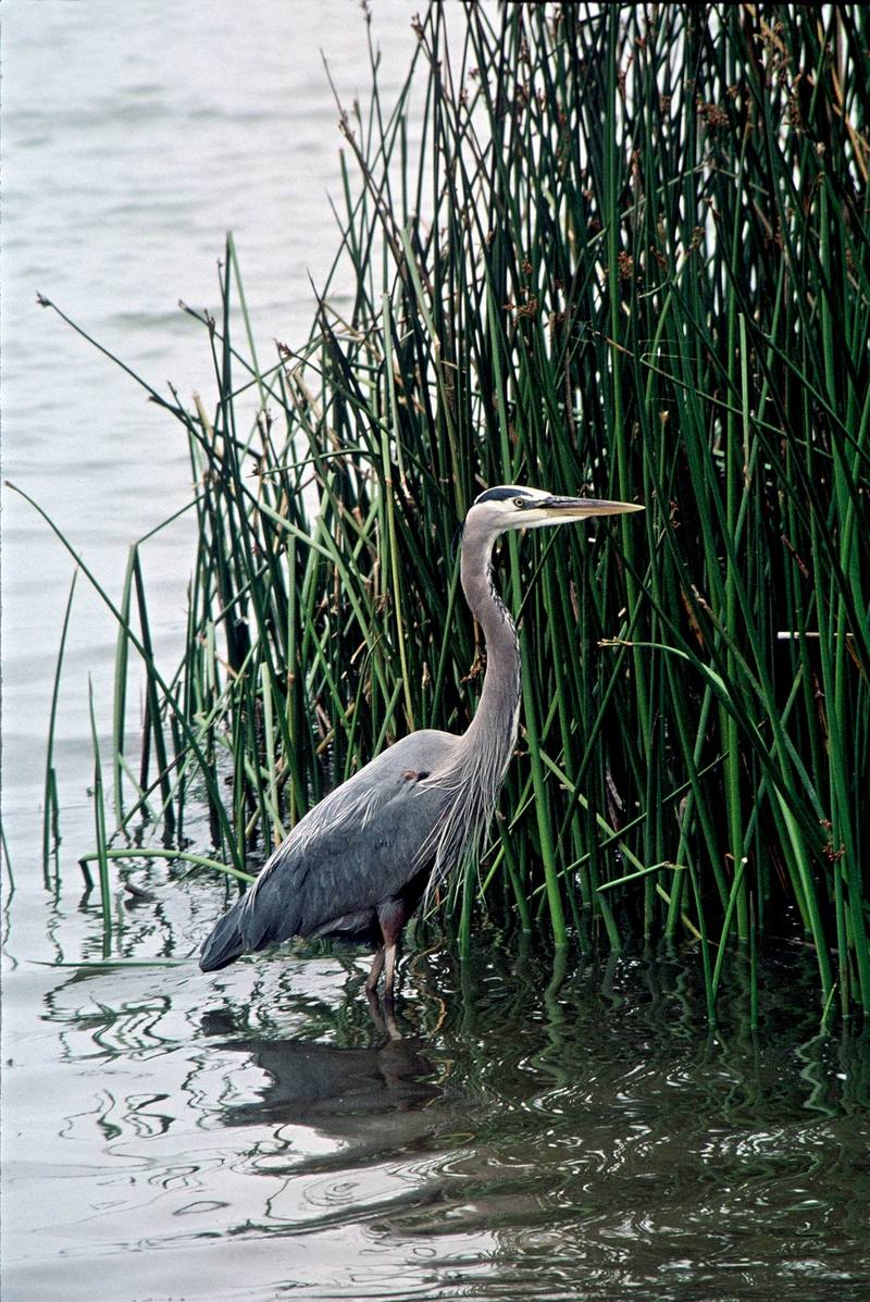 Great Blue Heron (Ardea herodias) <!--큰왜가리-->; DISPLAY FULL IMAGE.