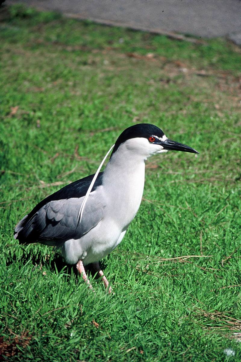 Black-crowned Night Heron (Nycticorax nycticorax) <!--해오라기-->; DISPLAY FULL IMAGE.