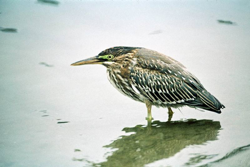 Green-backed Heron (Butorides striatus) <!--검은댕기해오라기-->; DISPLAY FULL IMAGE.
