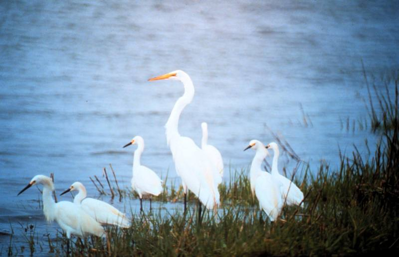 Great Egret (Ardea alba) <!--대백로(大白鷺)--> & Snowy Egret flock; DISPLAY FULL IMAGE.