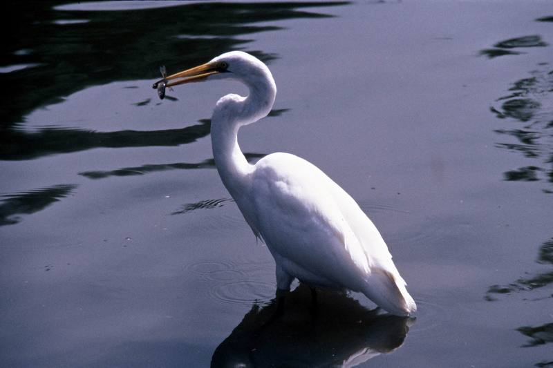 Great Egret (Ardea alba) <!--대백로(大白鷺)-->; DISPLAY FULL IMAGE.