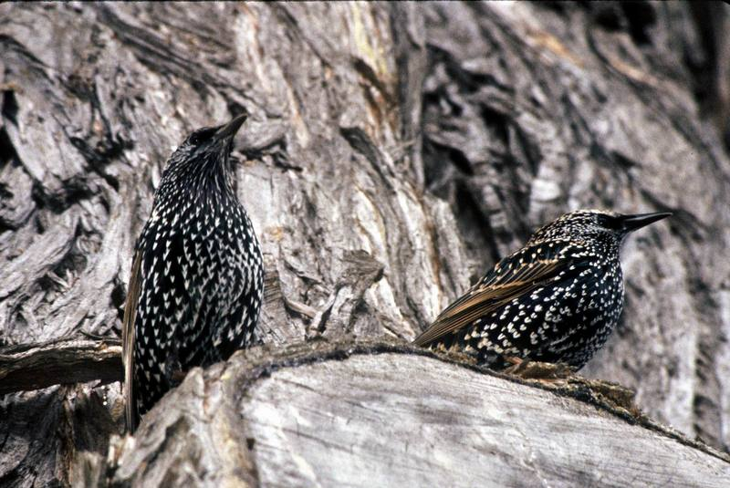 Common Starlings (Sturnus vulgaris) {!--흰점찌르레기-->; DISPLAY FULL IMAGE.