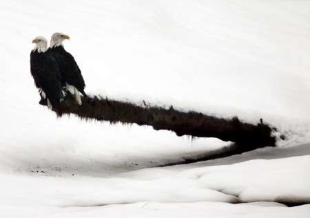 Bald Eagles, Squamish River, Brackendale, British Columbia [REUTERS]; Image ONLY