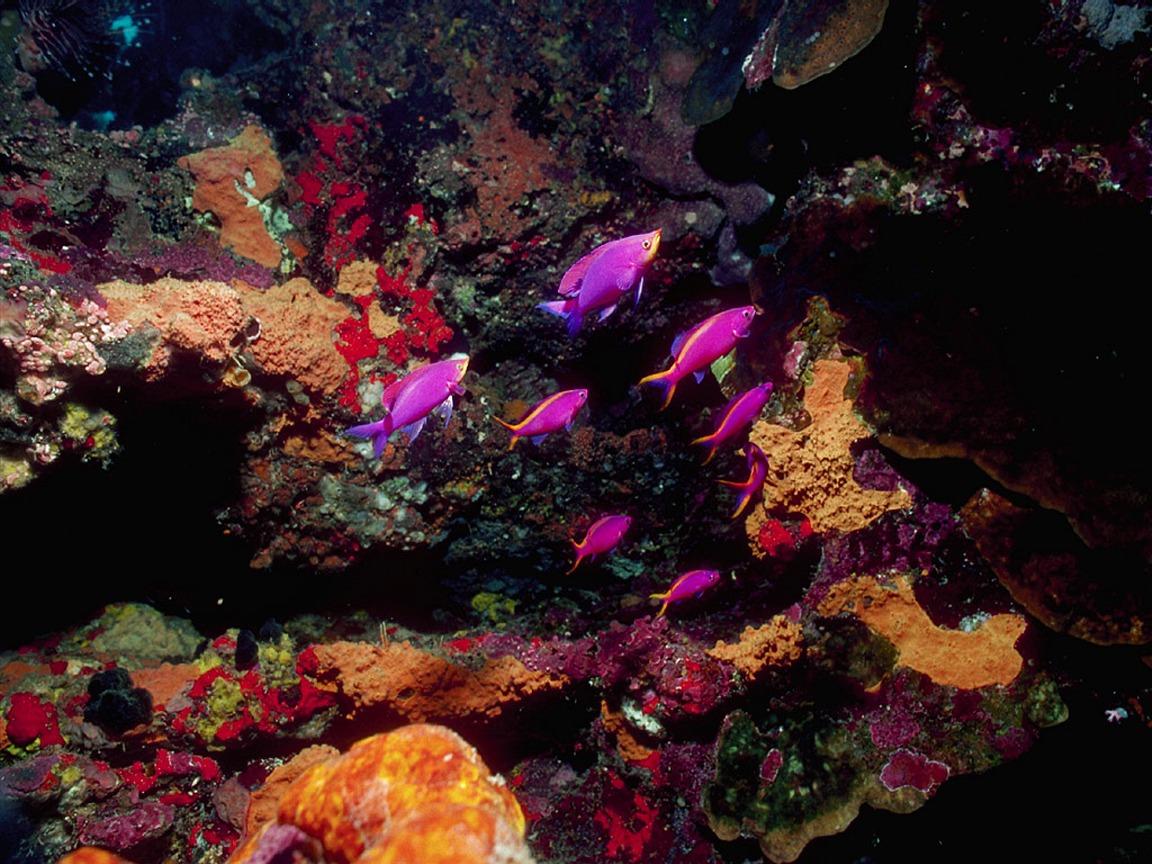 Screen themes coral reef fish purple anthias reef for Purple saltwater fish