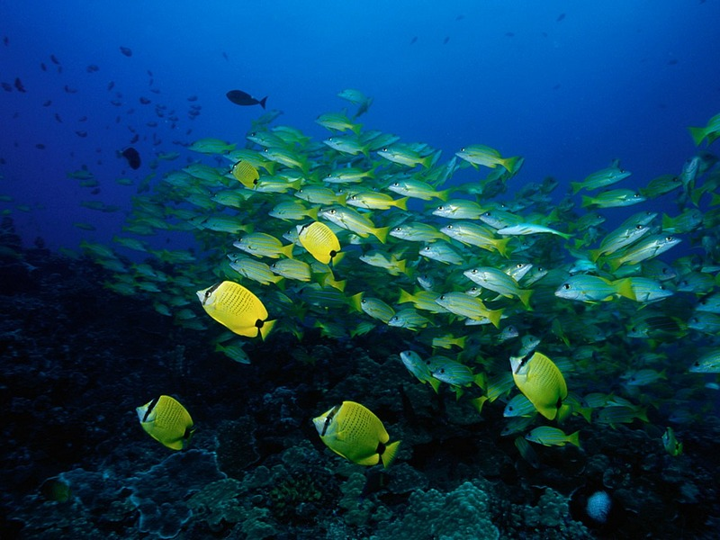 Screen Themes - Coral Reef Fish - Schools of Tropical Fish; DISPLAY FULL IMAGE.