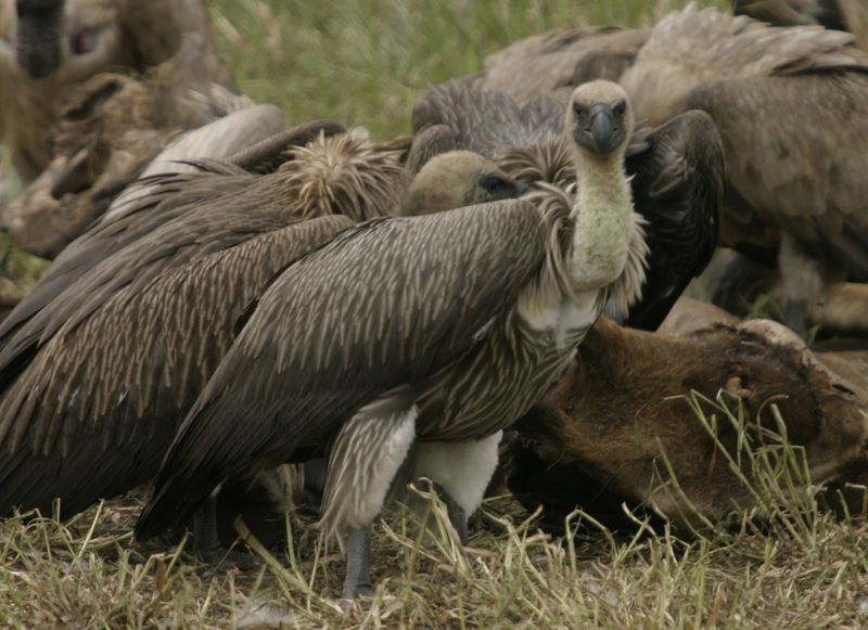 African White-backed Vultures feeding Kruger National Park South Africa; DISPLAY FULL IMAGE.