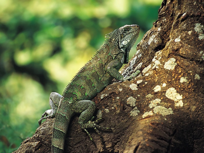 Screen Themes - Little Creatures - Amazon Green Iguana; DISPLAY FULL IMAGE.