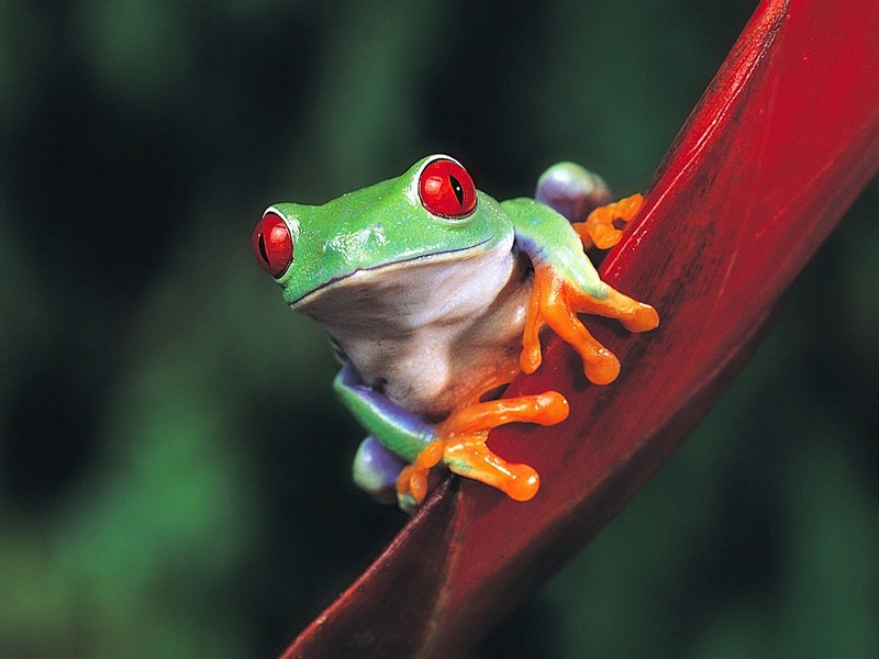 Screen Themes - Little Creatures - Red-eyed Treefrog; DISPLAY FULL IMAGE.