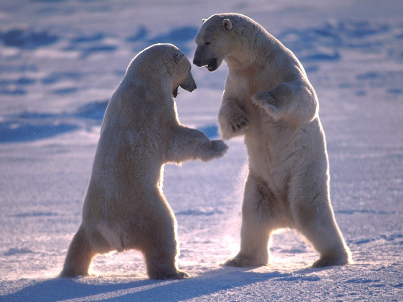 Screen Themes - Polar Bears - Dancing Bears; DISPLAY FULL IMAGE.