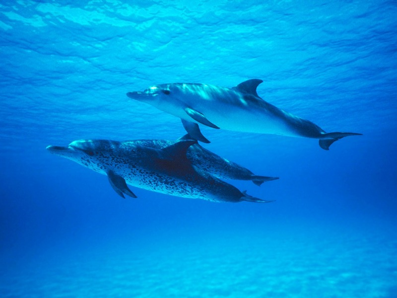 Screen Themes - Undersea Life 1 - Atlantic Spotted Dolphin trio; DISPLAY FULL IMAGE.