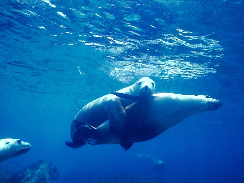 Screen Themes - Undersea Life 2 - Australian Sea Lions; DISPLAY FULL IMAGE.