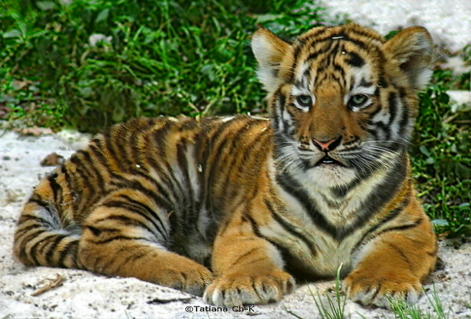 Siberian Tiger Baby Baby siberian tiger (female) Cute Siberian Tiger Cubs