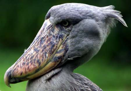 A highly endangered shoebill (Balaeniceps rex), Uganda [REUTERS]; Image ONLY