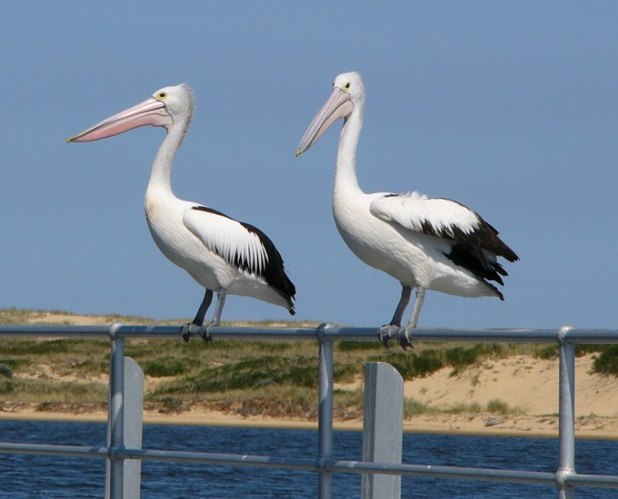 poised Australian pelicans; Image ONLY