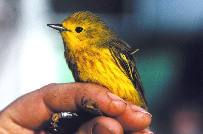 Yellow Warbler (Dendroica petechia) <!--황금솔새-->; Image ONLY