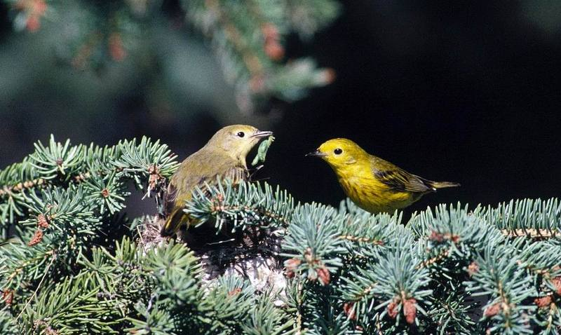 Yellow Warbler pair (Dendroica petechia) <!--황금솔새-->; DISPLAY FULL IMAGE.