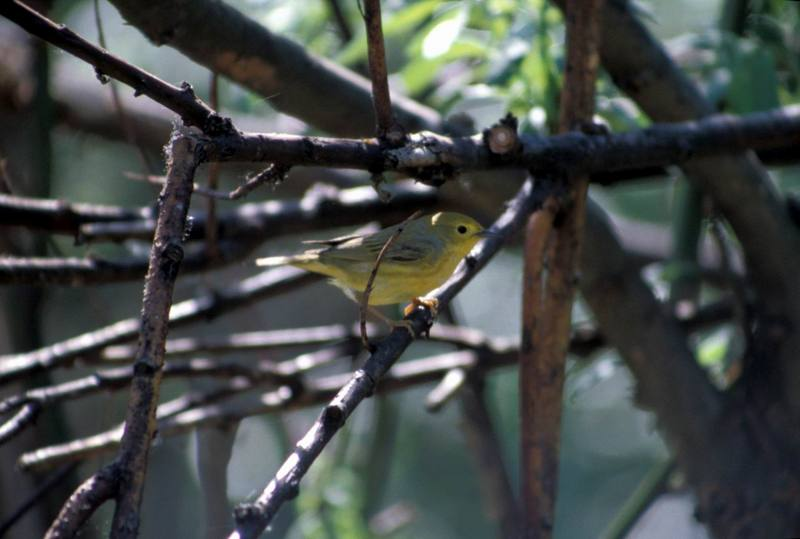 Yellow Warbler (Dendroica petechia) <!--황금솔새-->; DISPLAY FULL IMAGE.