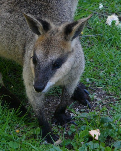 black footed rock wallaby; Image ONLY