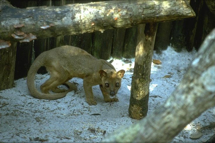 Fossa; Image ONLY