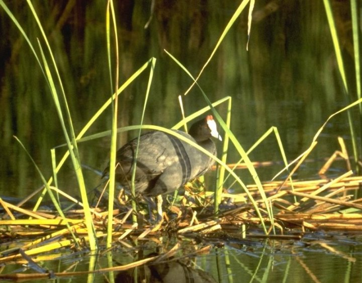 Knobbed Coot; Image ONLY