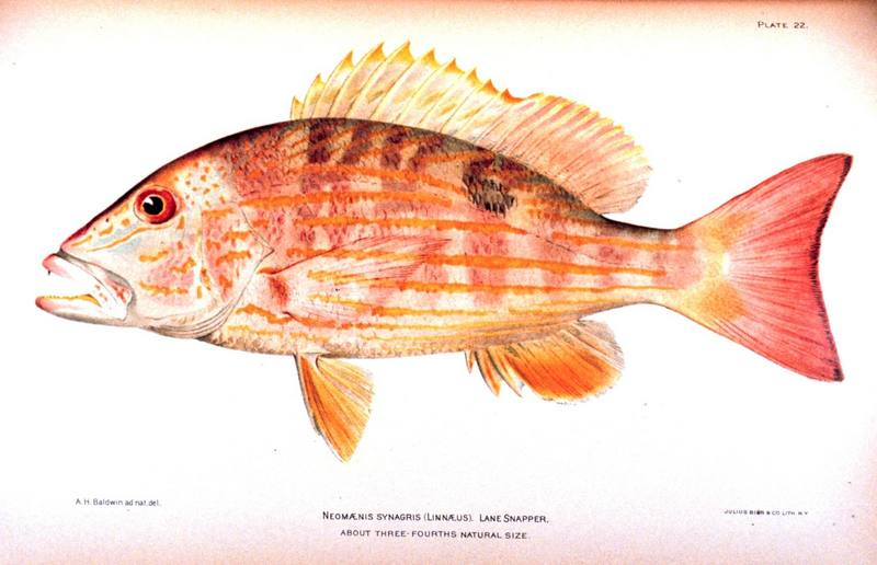 Lane Snapper (Lutjanus synagris) <!--퉁돔류-->; DISPLAY FULL IMAGE.