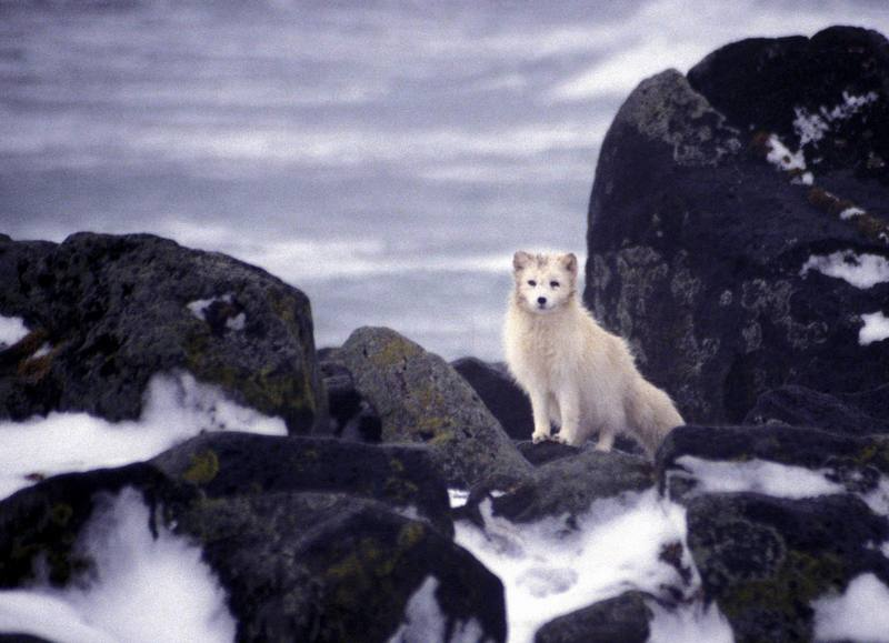 Arctic Fox (Alopex lagopus)<!--북극여우-->; DISPLAY FULL IMAGE.