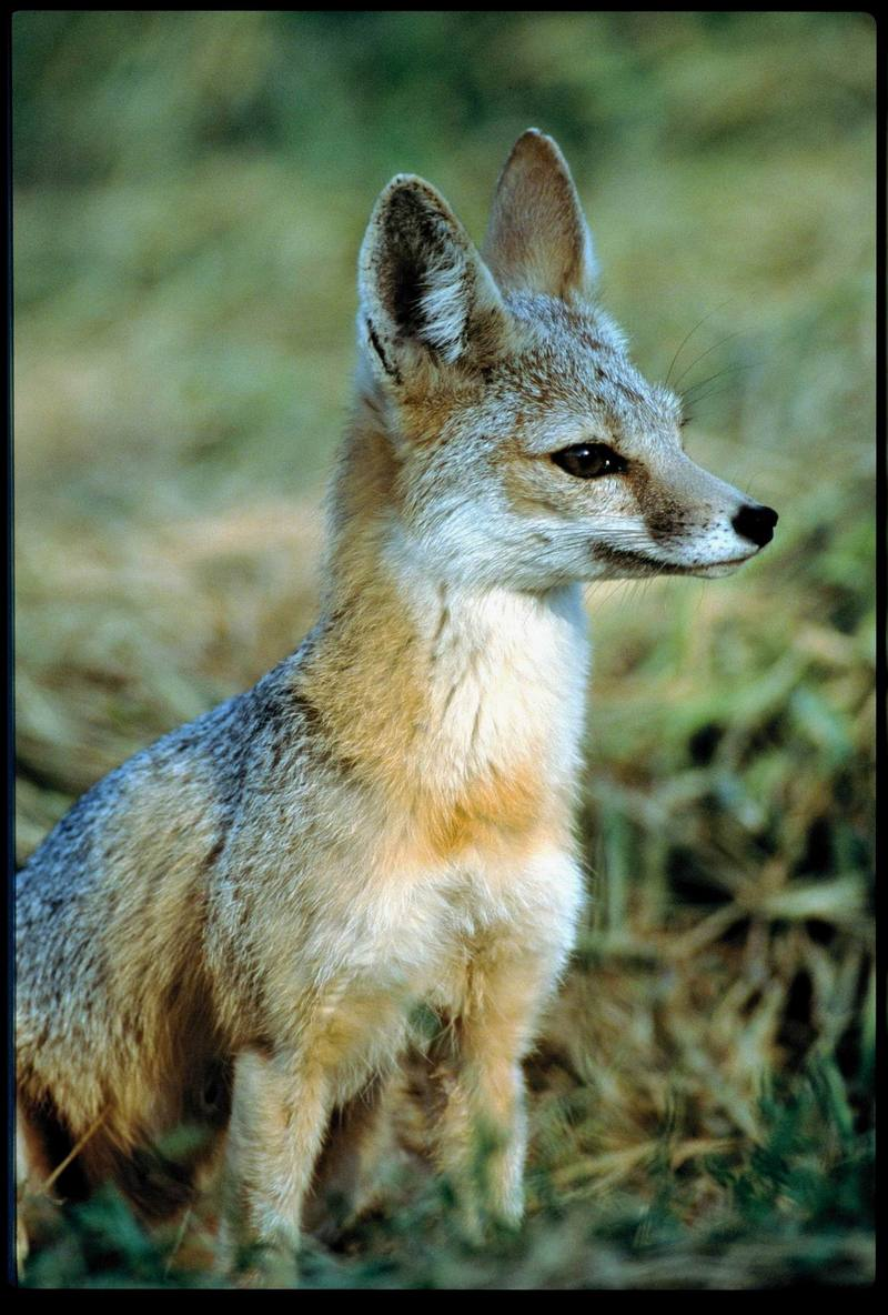 San Joaquin Kit Fox (Vulpes macrotis mutica); DISPLAY FULL IMAGE.