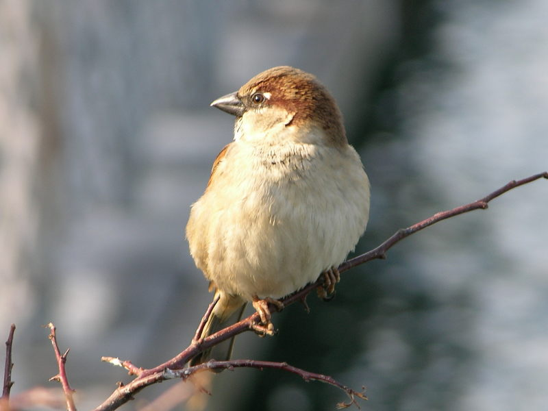 House Sparrow; DISPLAY FULL IMAGE.