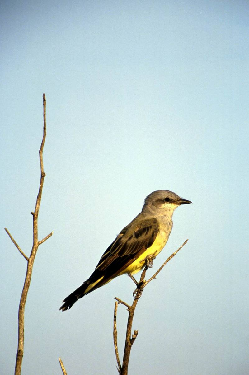 Western Kingbird (Tyrannus verticalis) <!--서부임금딱새-->; DISPLAY FULL IMAGE.
