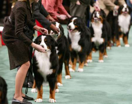 Westminster Kennel Club Dog Show, Bernese Mountain Dogs [REUTERS 2005-02-14]; Image ONLY