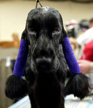 Westminster Kennel Club Dog Show, English Cocker Spaniel [REUTERS 2005-02-16]; Image ONLY