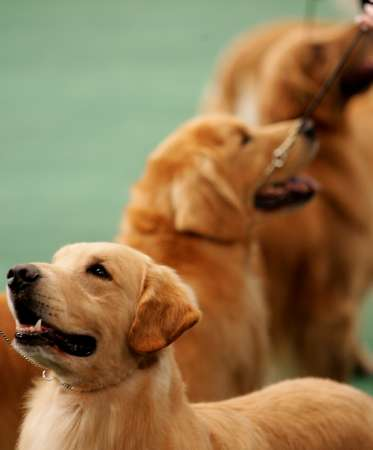 Westminster Kennel Club Dog Show, Golden Retriever [REUTERS 2005-02-15]; Image ONLY
