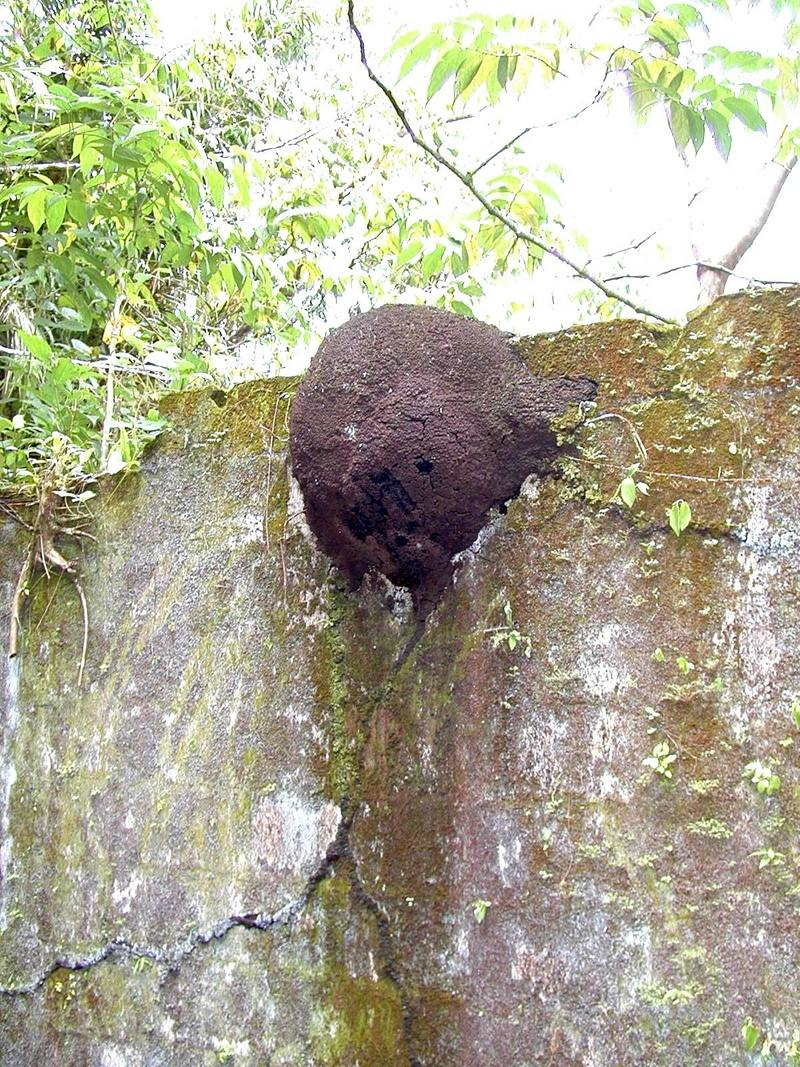 Termite mound on wall {!--흰개미집-->; DISPLAY FULL IMAGE.