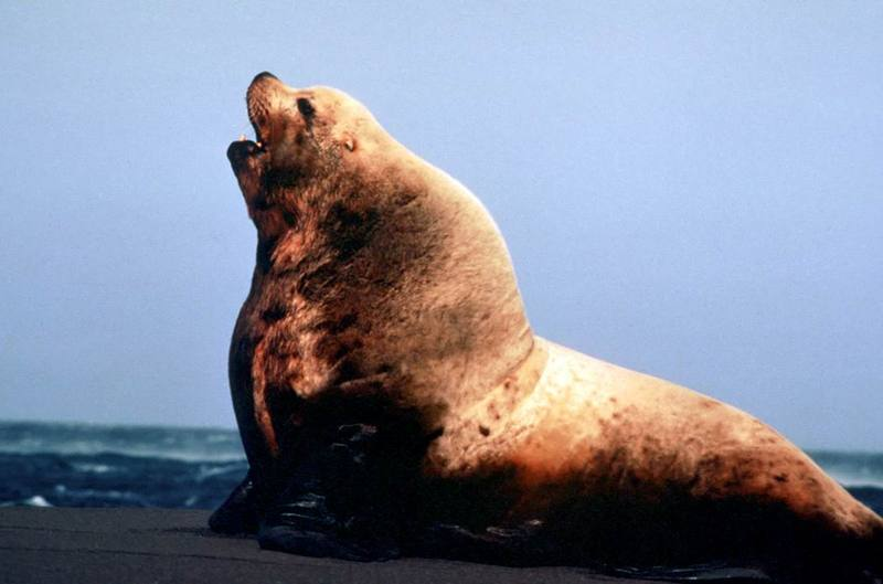 Steller Sea Lion bull (Eumetopias jubatus) <!--큰바다사자-->; DISPLAY FULL IMAGE.