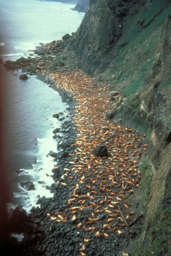 Steller Sea Lion colony (Eumetopias jubatus) <!--큰바다사자-->; Image ONLY