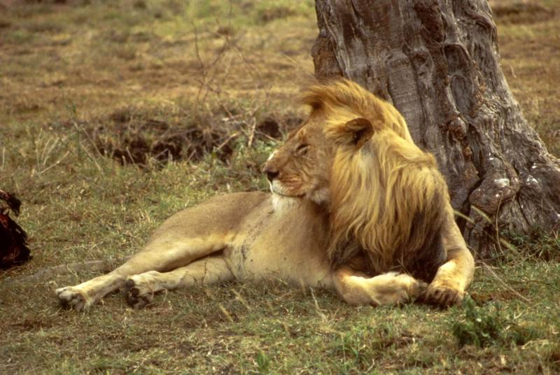 African Lion male (Panthera leo) <!--아프리카사자-->; DISPLAY FULL IMAGE.