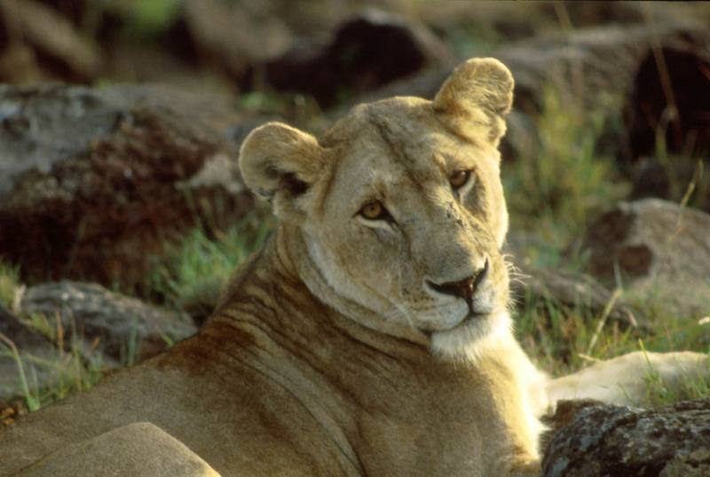 African Lion, lioness (Panthera leo) <!--아프리카사자-->; DISPLAY FULL IMAGE.