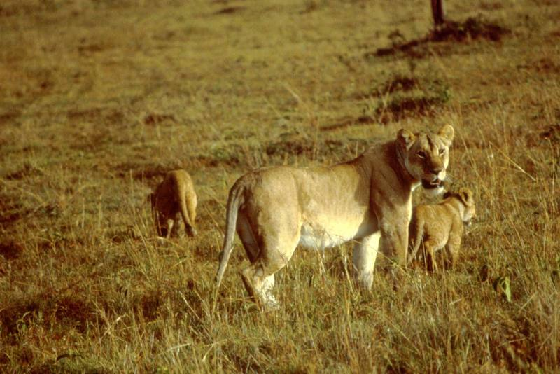 African Lion with cubs (Panthera leo) <!--아프리카사자-->; DISPLAY FULL IMAGE.