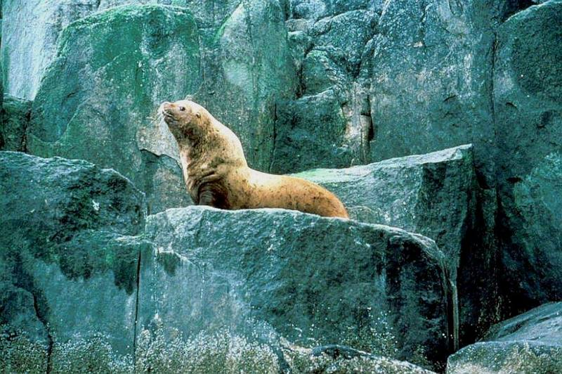Steller Sea Lion (Eumetopias jubatus) <!--큰바다사자-->; DISPLAY FULL IMAGE.
