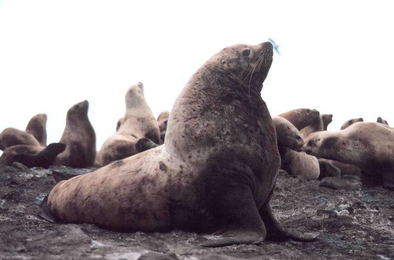Steller Sea Lion group (Eumetopias jubatus) {!--큰바다사자-->; DISPLAY FULL IMAGE.