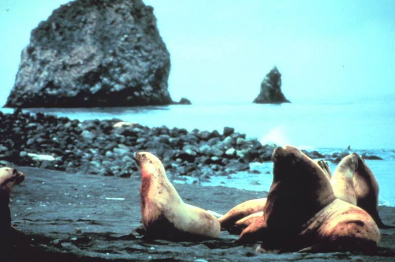 Steller Sea Lion group (Eumetopias jubatus) <!--큰바다사자-->; DISPLAY FULL IMAGE.