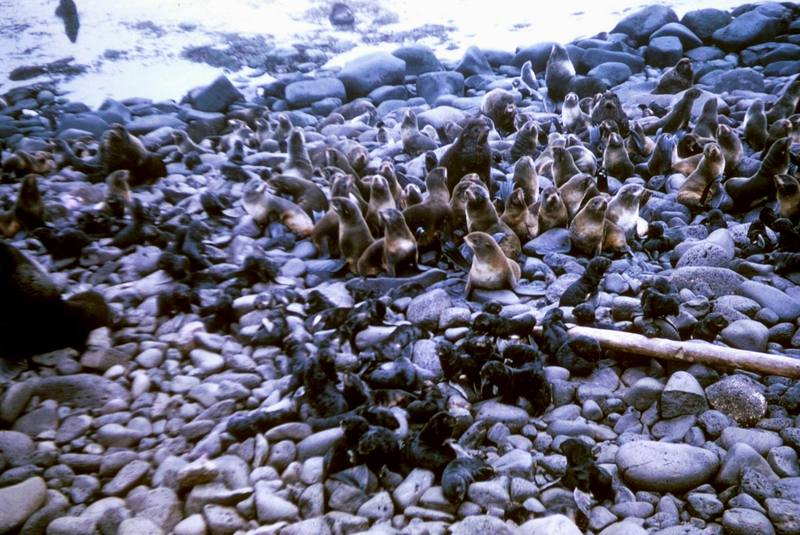 Northern Fur Seal group (Callorhinus ursinus) <!--물개-->; DISPLAY FULL IMAGE.