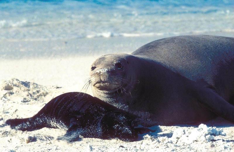 Hawaiian Monk Seal and Pup.jpg