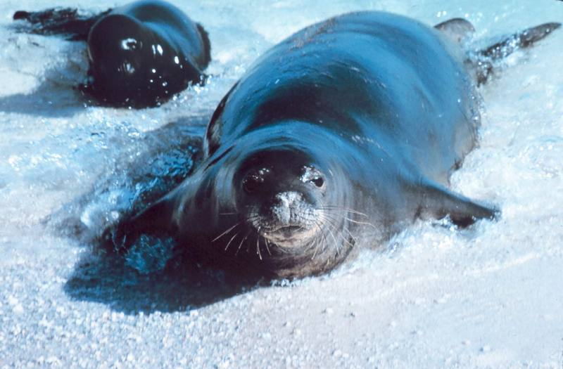 Hawaiian Monk Seal with pup (Monachus schauinslandi) <!--하와이물범-->; DISPLAY FULL IMAGE.