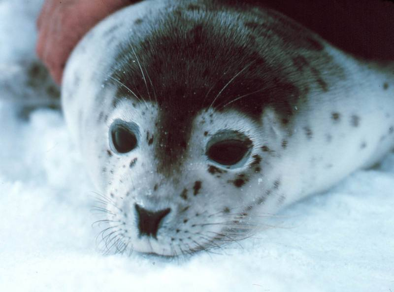 Spotted Seal (Phoca largha) {!--물범-->; DISPLAY FULL IMAGE.